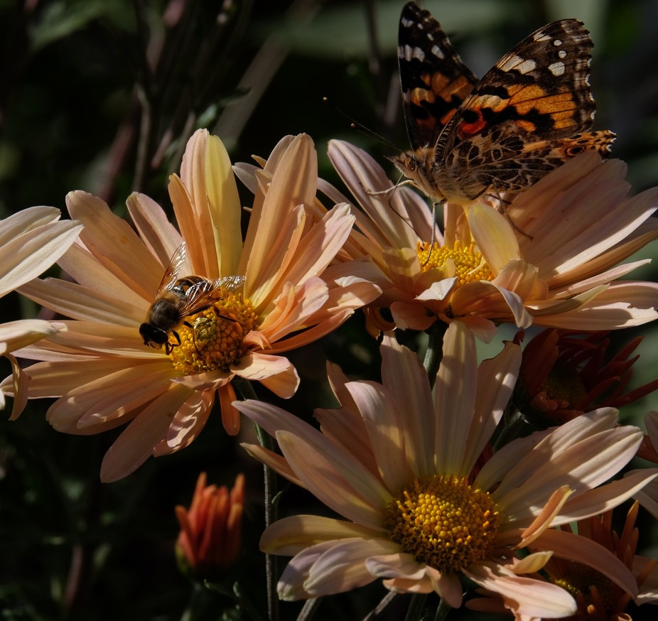 American Painted Lady and friend