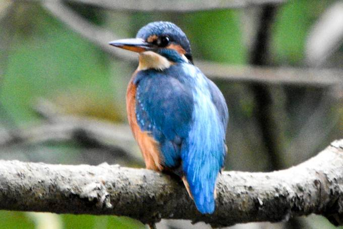 This is the third day running that I have managed a Kingfisher shot. This was the best yet!