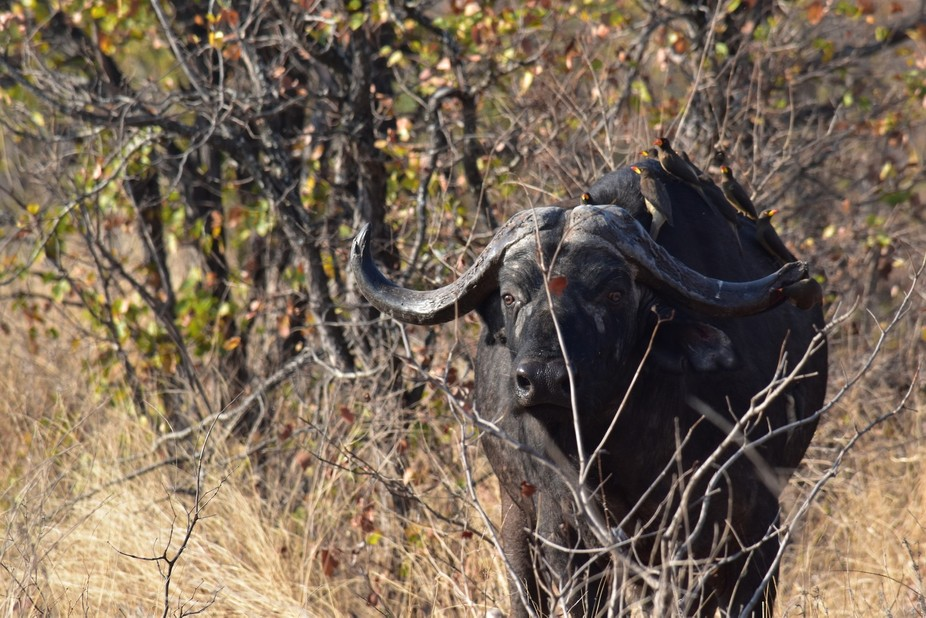 Herd of buffalo near Mopani Restcamp in Kruger National Park. One buffalo had nine adult yellowbi...