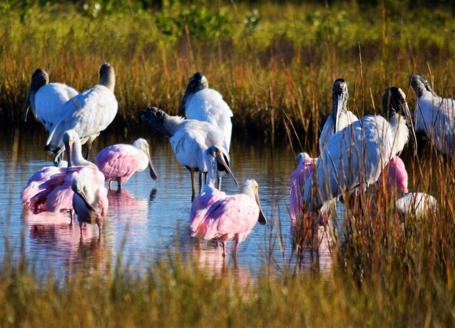 Pink Spoonbills, Storks