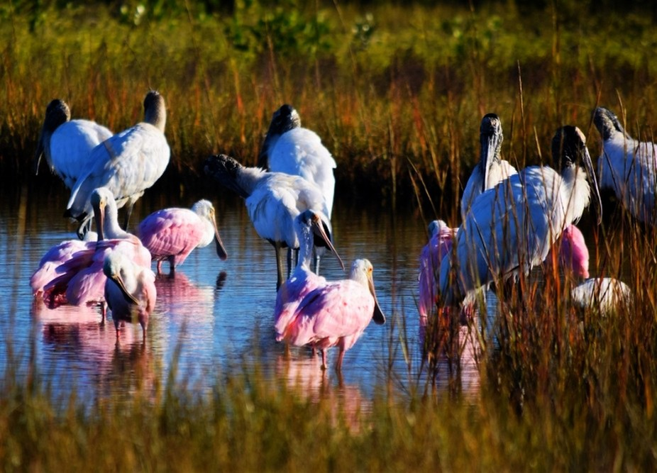 Pink Spoonbills and Storks