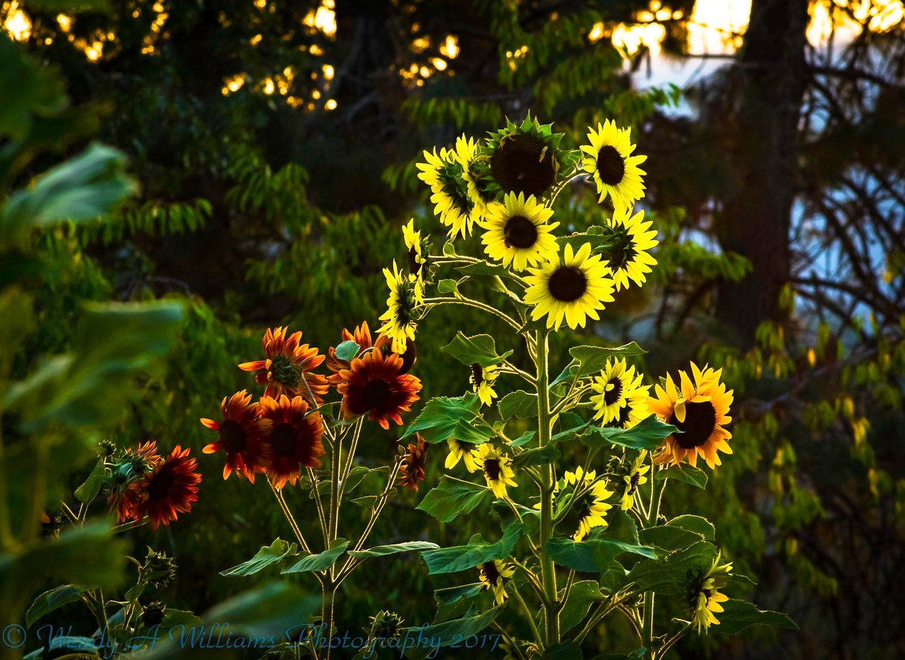 Visiting our local organic farm and catching the last of the sunflowers in our area for 2017 see more of my work at wendyawilliamsphotography.com
