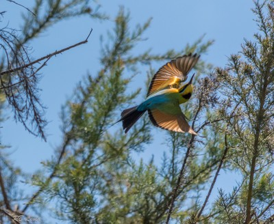 Rainbow Bee Eater-1-11