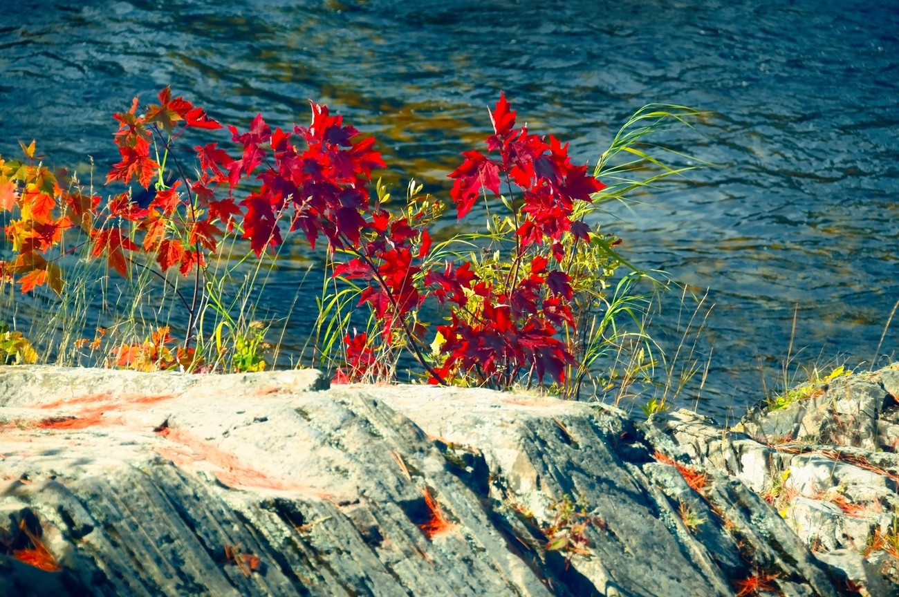 Early color by the river growing by a big rock. Very pretty.
