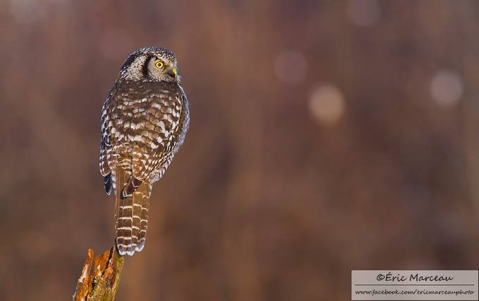 Northern hawk owl by ericmarceau - Social Exposure Photo Contest Vol 12