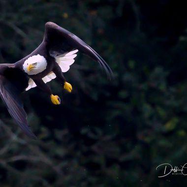 Eagle @ Night
