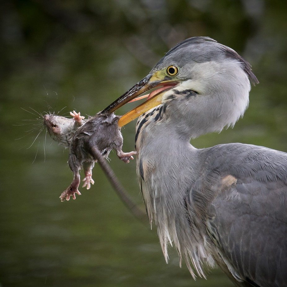 Heron and Rat by MartinPatten - Food Chain Struggles Photo Contest