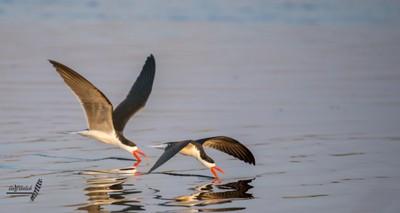 Skimming Skimmers