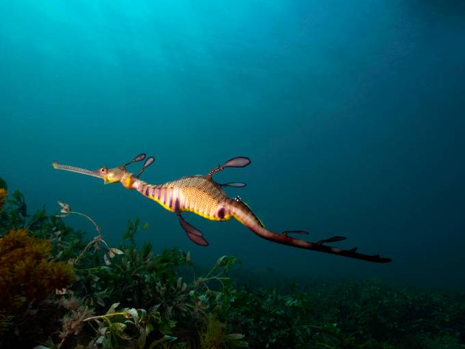 Weedy Sea Dragon Hunting by Ashley_Missen