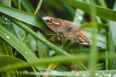 Buckeye Butterfly 3
