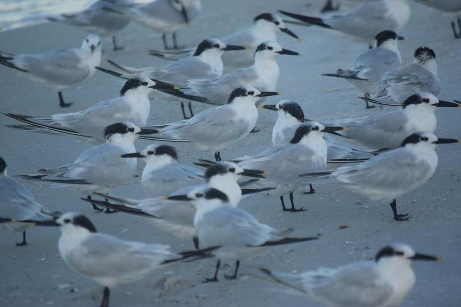 Multiple Terns