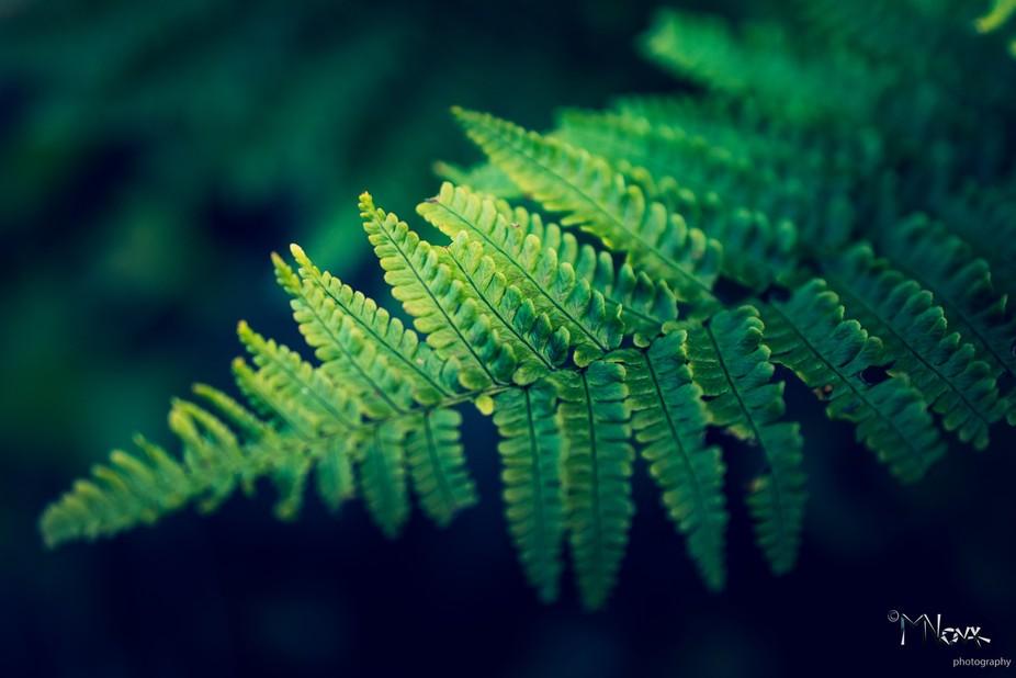 Pteridophyte plant