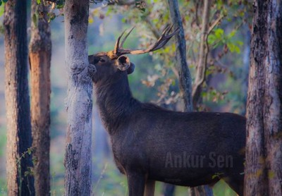 #sambar look at the way he stares at you. Did I spot him? Or she spotted me? #jungle #travelPhotoGraphy #travelblogger #india #wonderful #landscape #smile #destination #vacation #vsco #photo #igers #webstagram #instagramphotos #trip #view #wanderlust #com