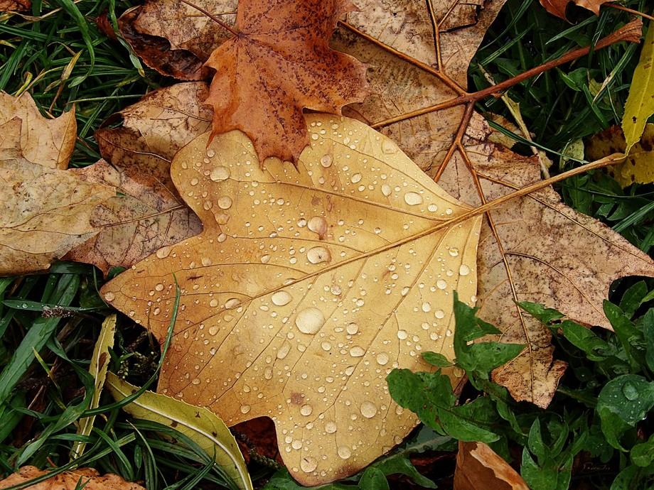Autumn leaves, spotted on walk around Brasov, Romania.