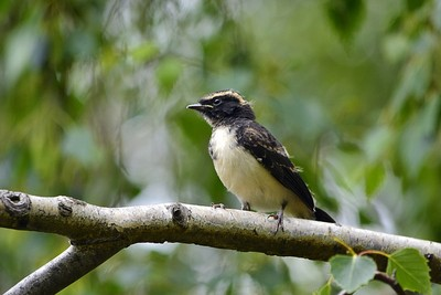 1 of 3 baby Willy Wagtails