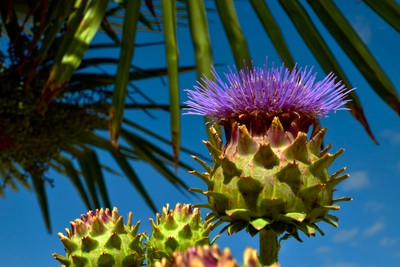 Thistles and Palm Tree's