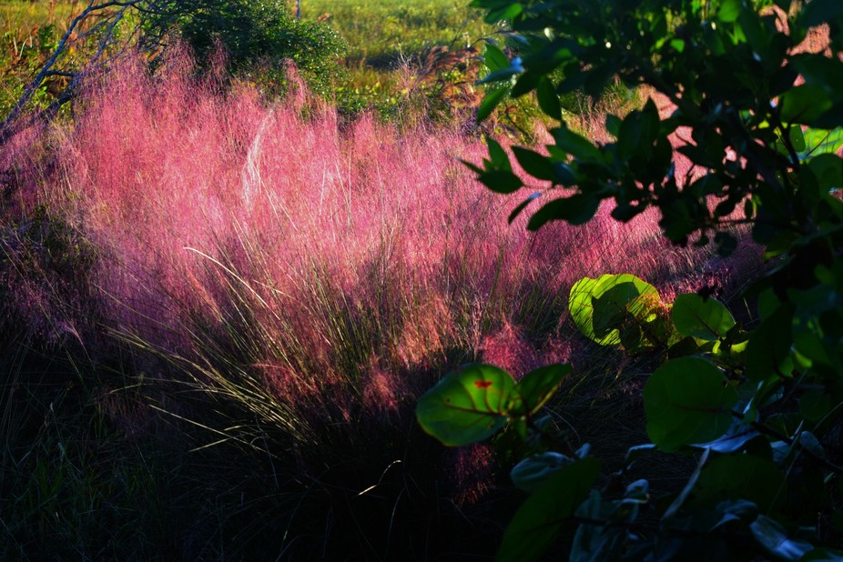 purple grasses in sunlight