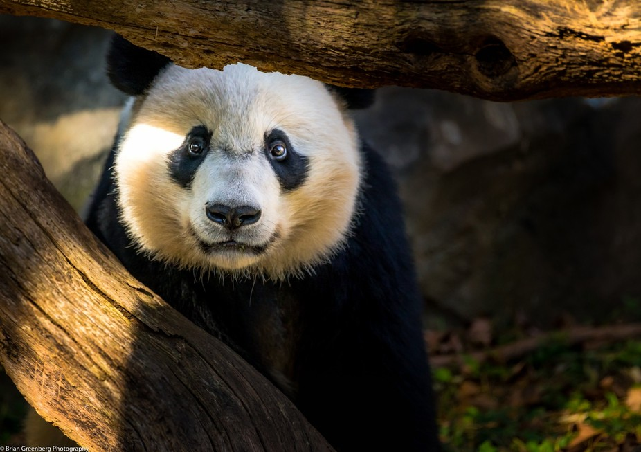 One of the pandas at the National Zoo in Washington DC stares the camera down