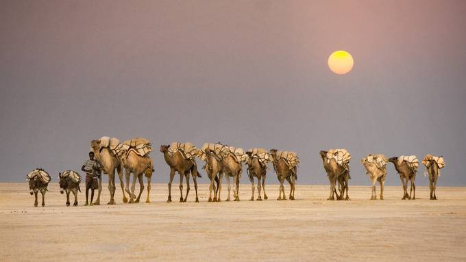 Salt Caravan in Danakil Depression by guko - People And Animals Photo Contest