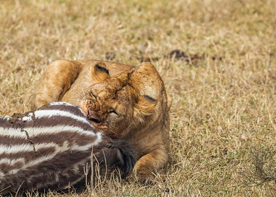 Lioness and the zebra