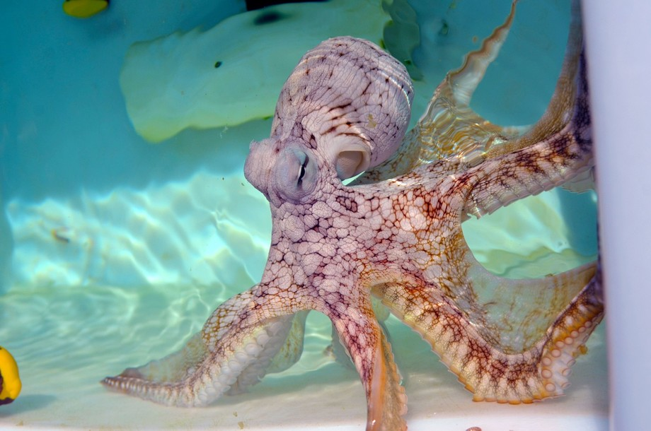 Speckled Octopus