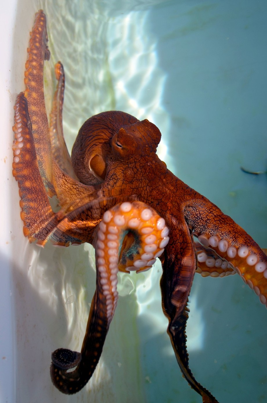 Red The Octopus