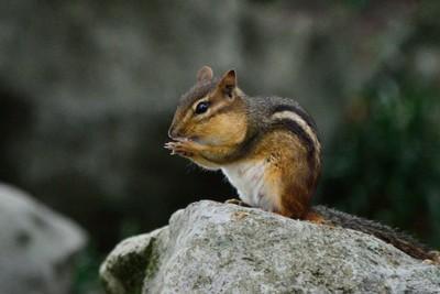 Chipmunk Munchies