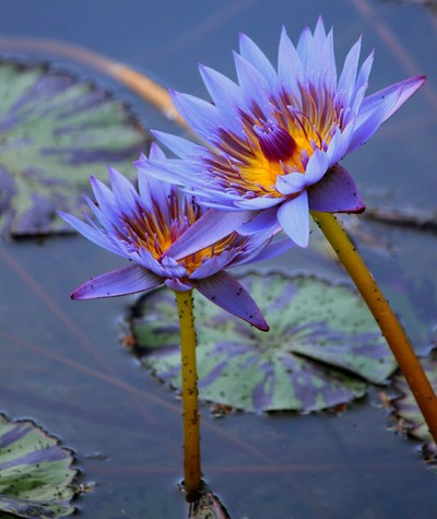Purple Lilies in a Lily Pond