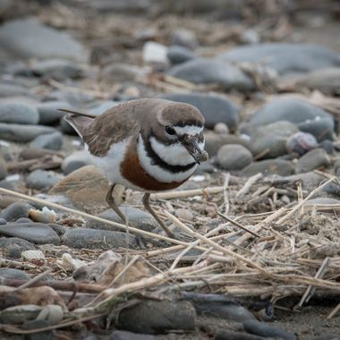 Banded Dotterel with a pebble