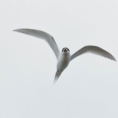 Tern over head