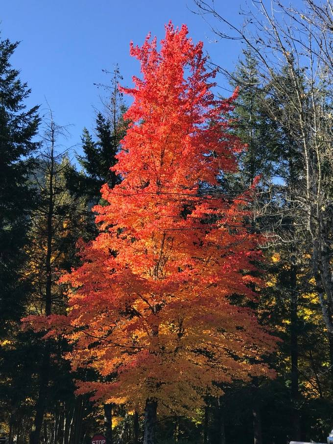 Tree Aflame with Fall
