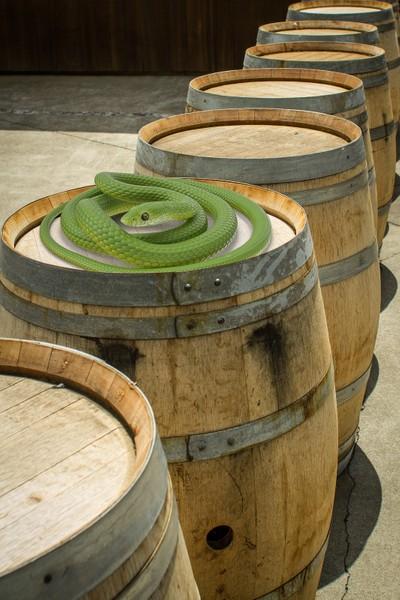 Snake on a Wine Barrel