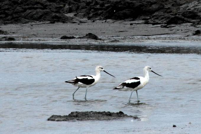 A pair of non-breeding American Avocets on a mud flat.