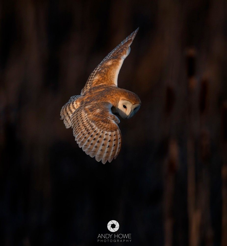 Barn Owl by AndyHowePhotography - Only Owls Photo Contest