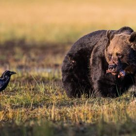 Brown Bear and Raven, Finland, 5 September 2017.