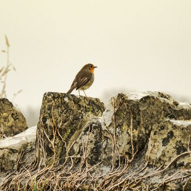 A robin keeping watch over a misty scene from the wall of Tewkesbury Abbey Grange at Llantwit Major
