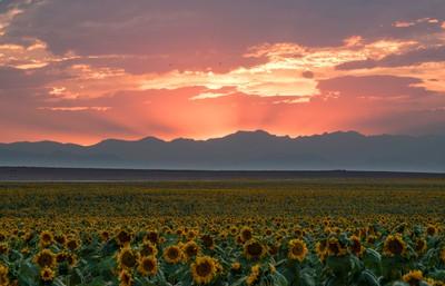 Golden Fields of Sunflowers