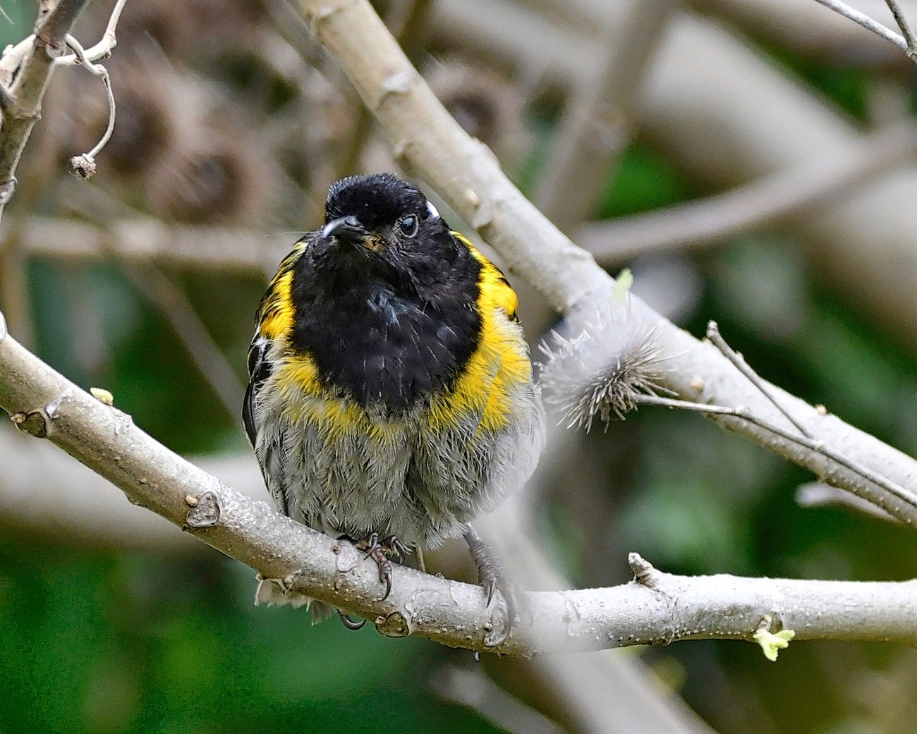 The stitchbird or hihi (Notiomystis cincta) is a rare honeyeater-like bird endemic to the North Island and adjacent offshore islands of New Zealand. Almost extinct, conservation efforts have lead to repopulation of this unique bird to several island sanctuaries in New Zealand. Unlike the photo of the female, this photo was taken in Zealandia, another nature preserve in Wellington, NZ