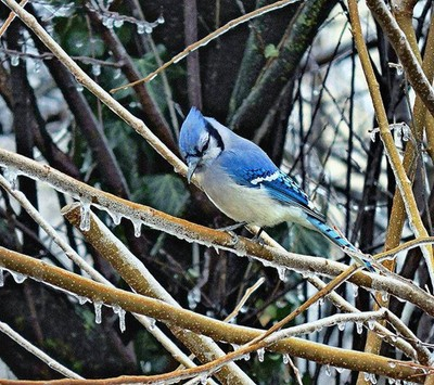 One Cold Blue Jay