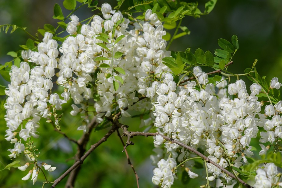 Blossoms on a wild tree in rural Virginia
