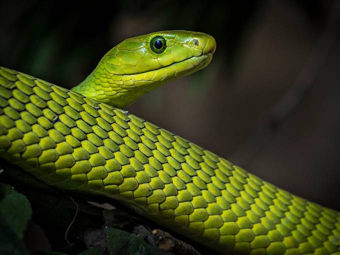 Green Mamba by josephleduc - Snakes Photo Contest