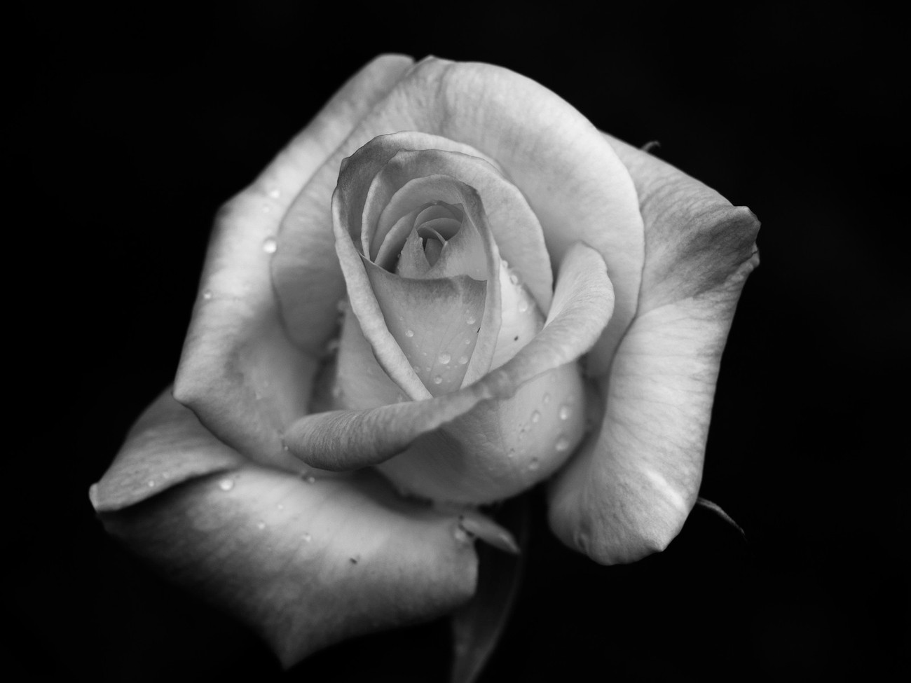 Black and White version of the Flamingo Rose