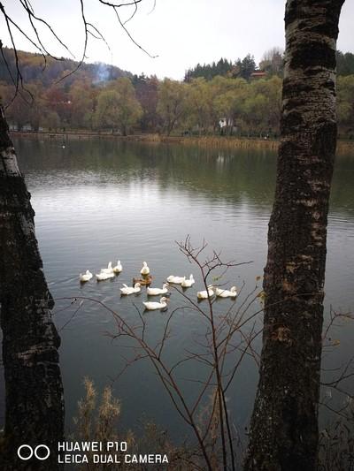 ducks_on_the_lake