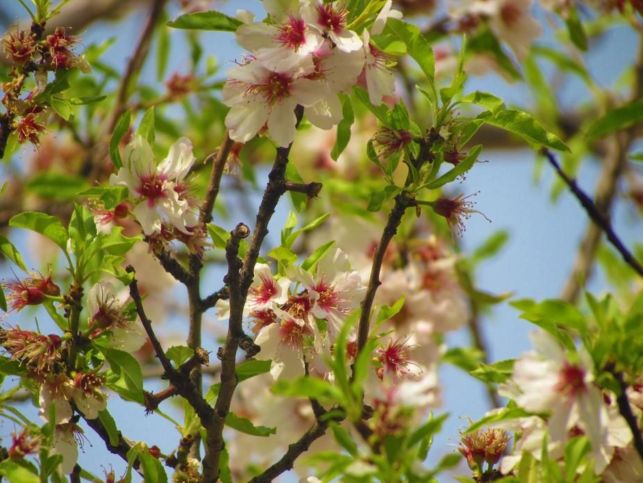 Almond Spring