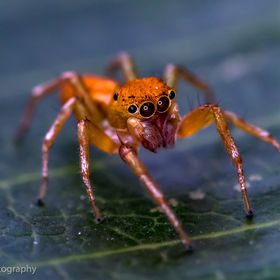 Among arthropods, jumping spiders, or salticids, are known for their superior eyesight. They are equipped with eight eyes and are known for their...
