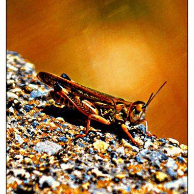 Grasshopper on stone.
