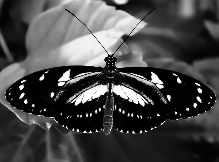 Butterfly in b&w