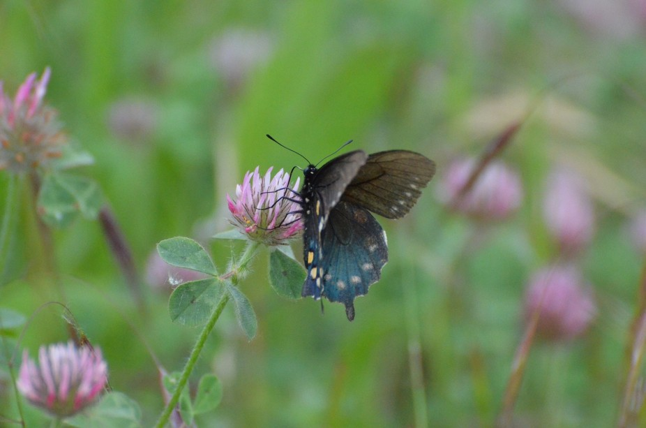 This black and yellow butterfly and having fun on this purple clover flower.