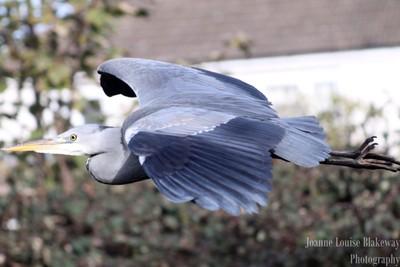 wingspan of the heron