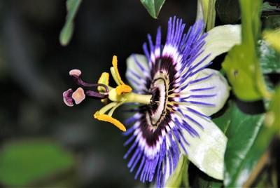 DSC_0297 Passion Flower
